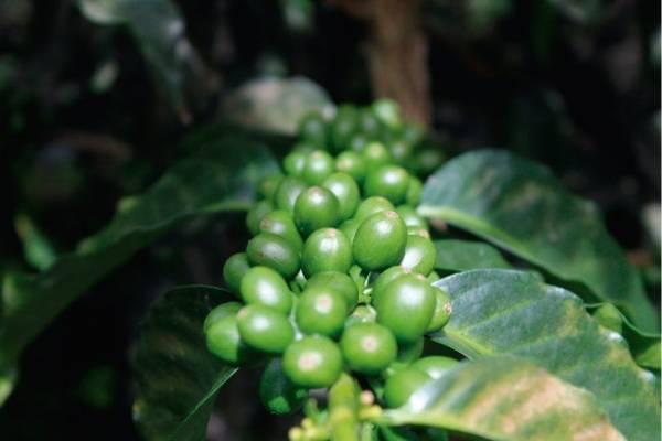 grano café
