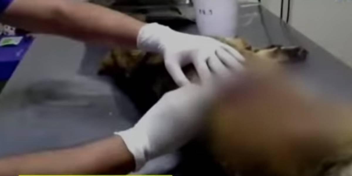 Tras ser agredida con arma blanca, perrita llega por sus propios medios a un Hospital