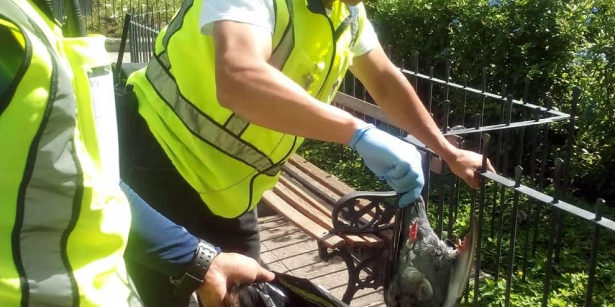 Alguien está matando a las palomas en Antigua Guatemala