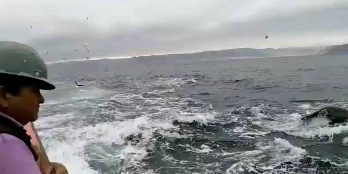 Increíbles imágenes de una orca cazando a lobos marinos