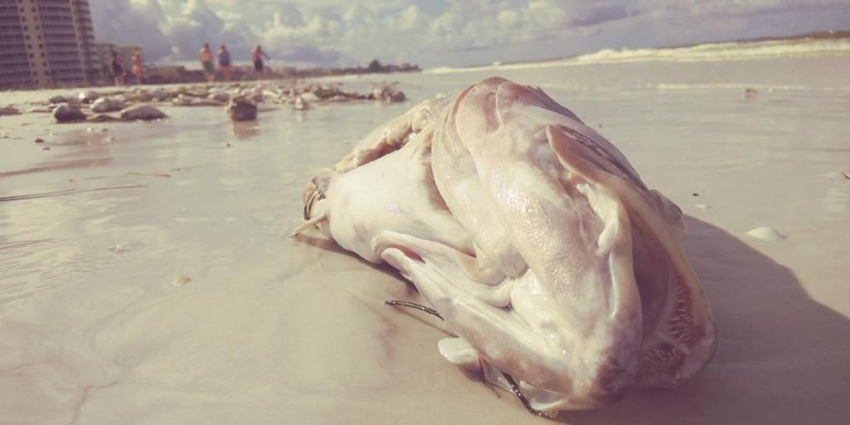 Marea roja en Florida deja peces muertos y mal olor en la playa
