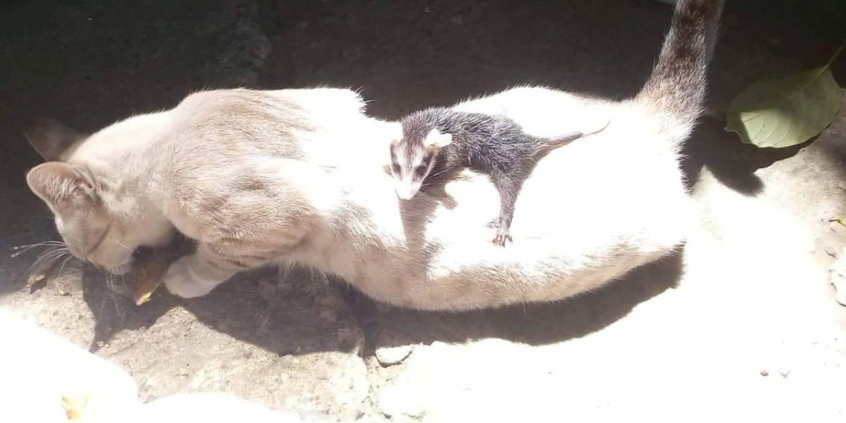 """Mujer rescata a gatita abandonada y descubre que tenía una singular """"hija"""": había adoptado una zarigüeya"""