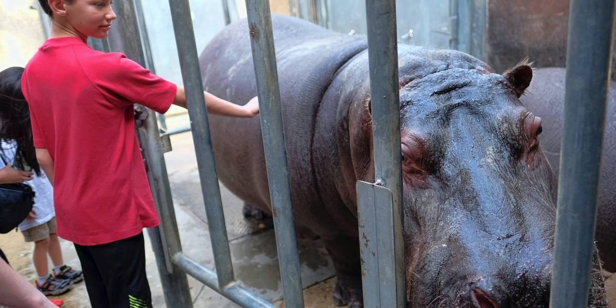 Policía investiga caso de hipopótama golpeada en zoológico de Los Ángeles