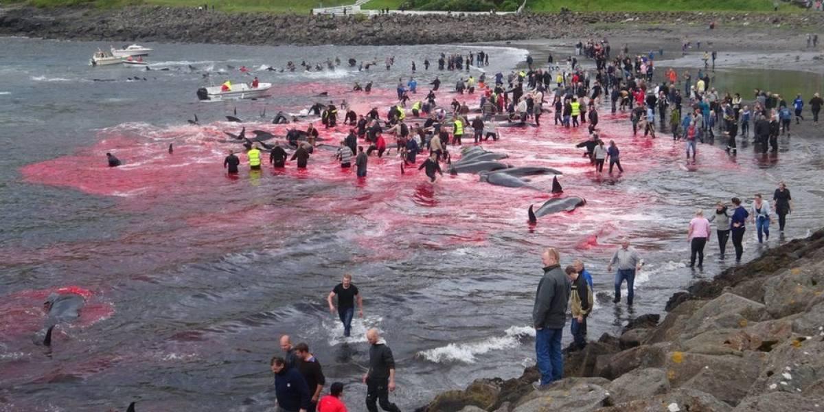 Cacería de 180 cetáceos tiñen el mar de sangre en las Islas Feroe