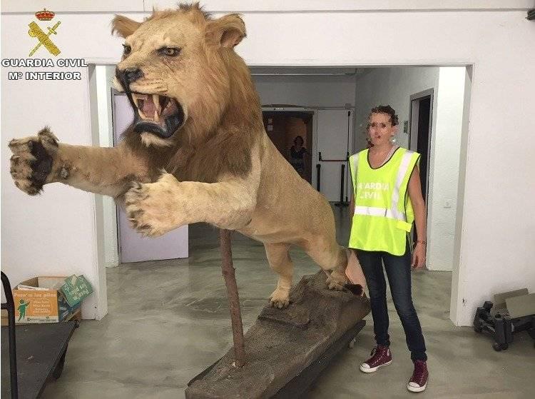 León disecado en Cataluña