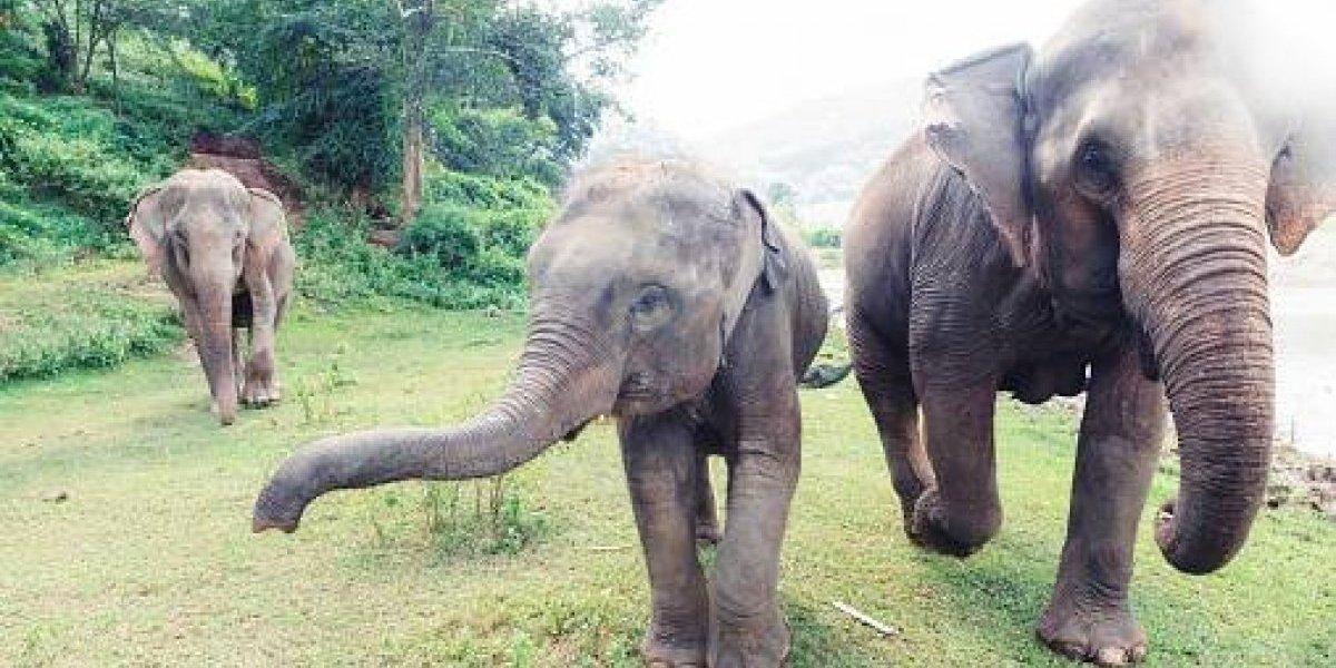 """¿La clave para la cura del cáncer?: descubren """"gen zombi"""" en los elefantes que podría eliminar la enfermedad en humanos"""