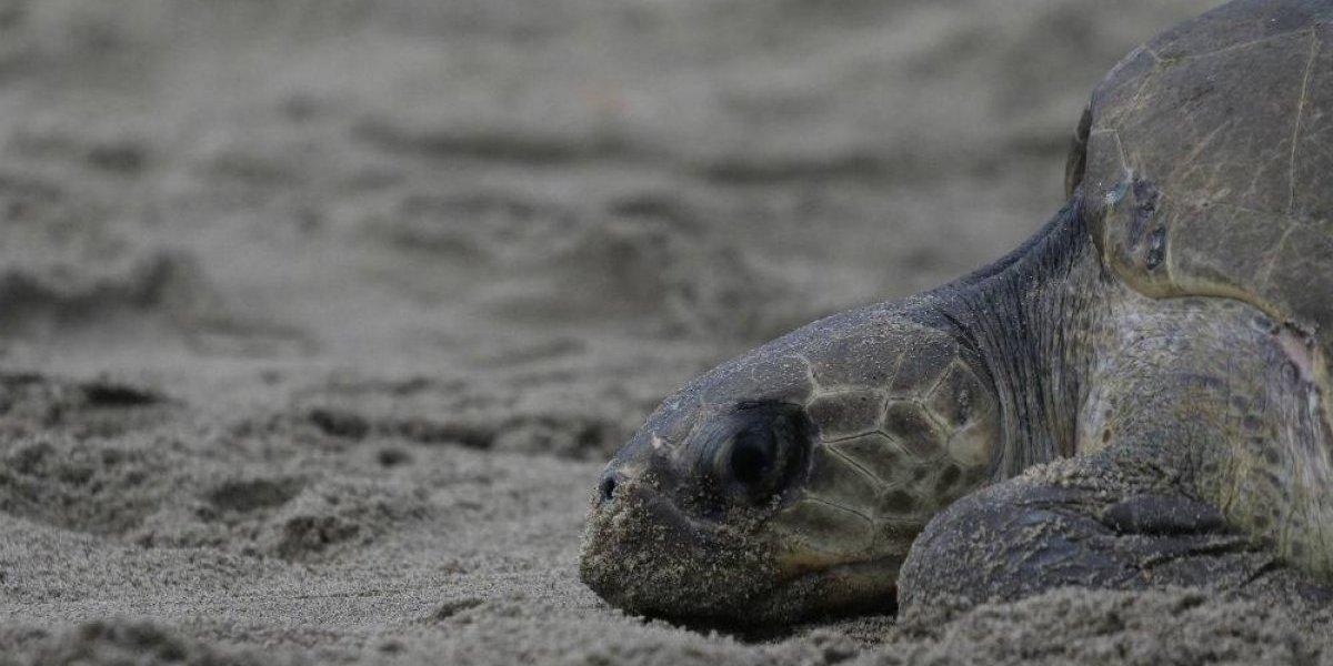 Analizan muerte de tortugas en santuario chiapaneco