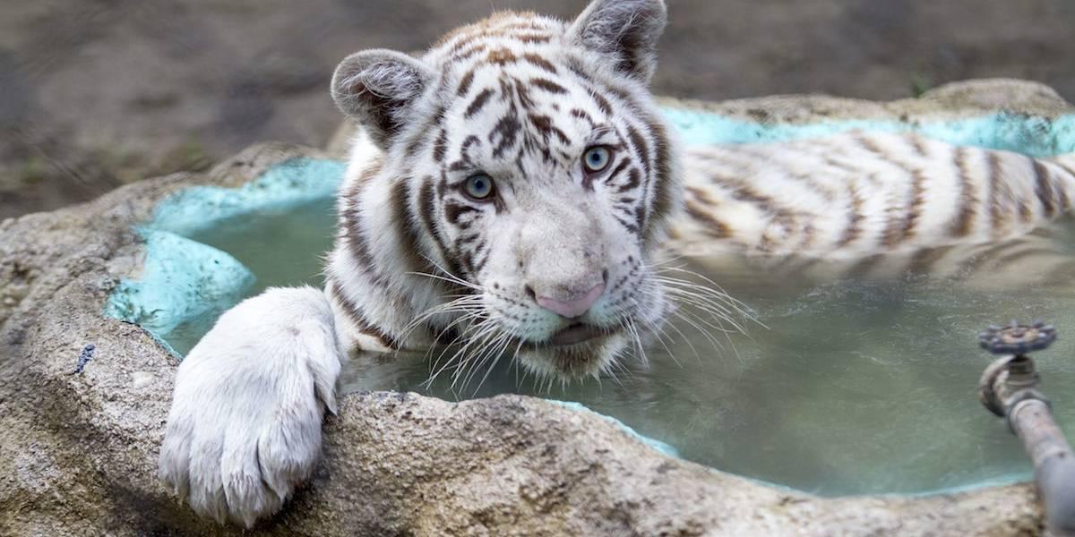 Rescatan a tigre de bengala en una casa de Mexicali