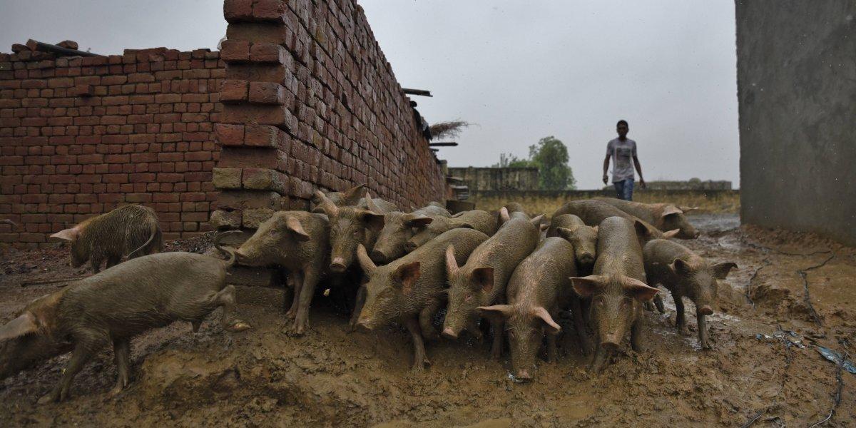 Pánico ambiental: en España hay más cerdos que personas