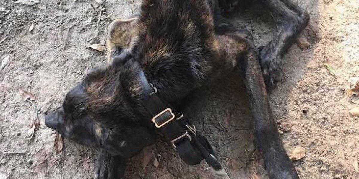 Sin agua y comida por un mes: quería vengarse de su novio y decidió matar de hambre a su perro