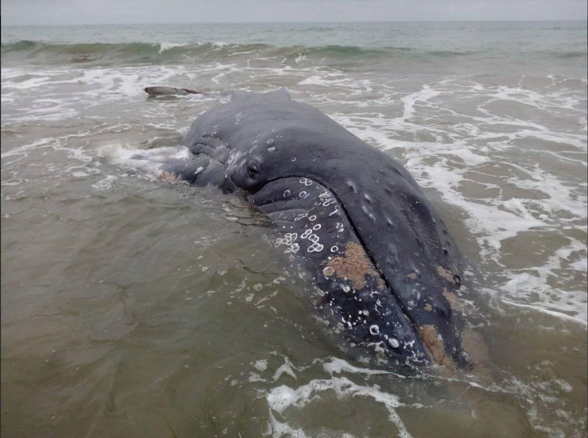 Ballena varada en playa Monteverde fue devuelta al mar Twitter