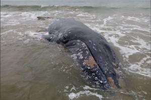 Ballena varada en playa Monteverde fue devuelta al mar