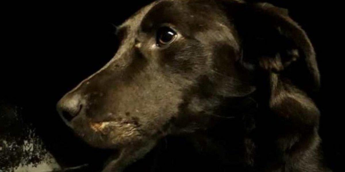 Colgaron a perrita a un árbol como carnada para pumas: el final feliz de dramático caso de maltrato animal
