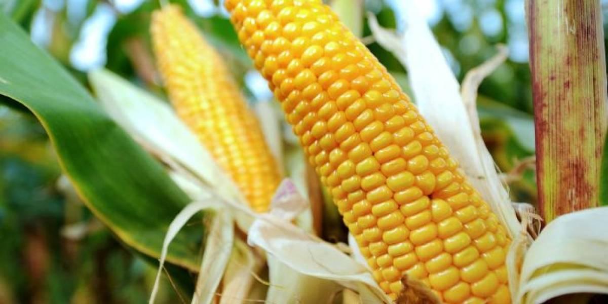 Maíz y frijol, los cultivos más afectados por la sequía