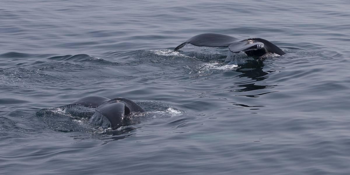 Ballenato se mutiló la cola en playas de Nuquí por culpa de redes fantasma