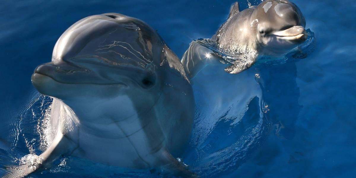 """Zafar el delfín que """"corteja"""" a bañistas en Francia"""