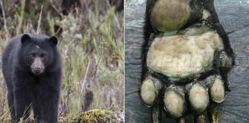 Indígena que mató y descuartizó a oso de anteojos dice que lo hizo por hambre