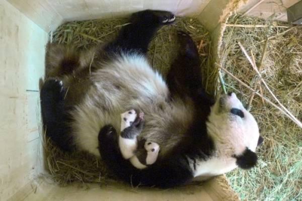 Yang Yang, la osa panda en zoológico de Viena