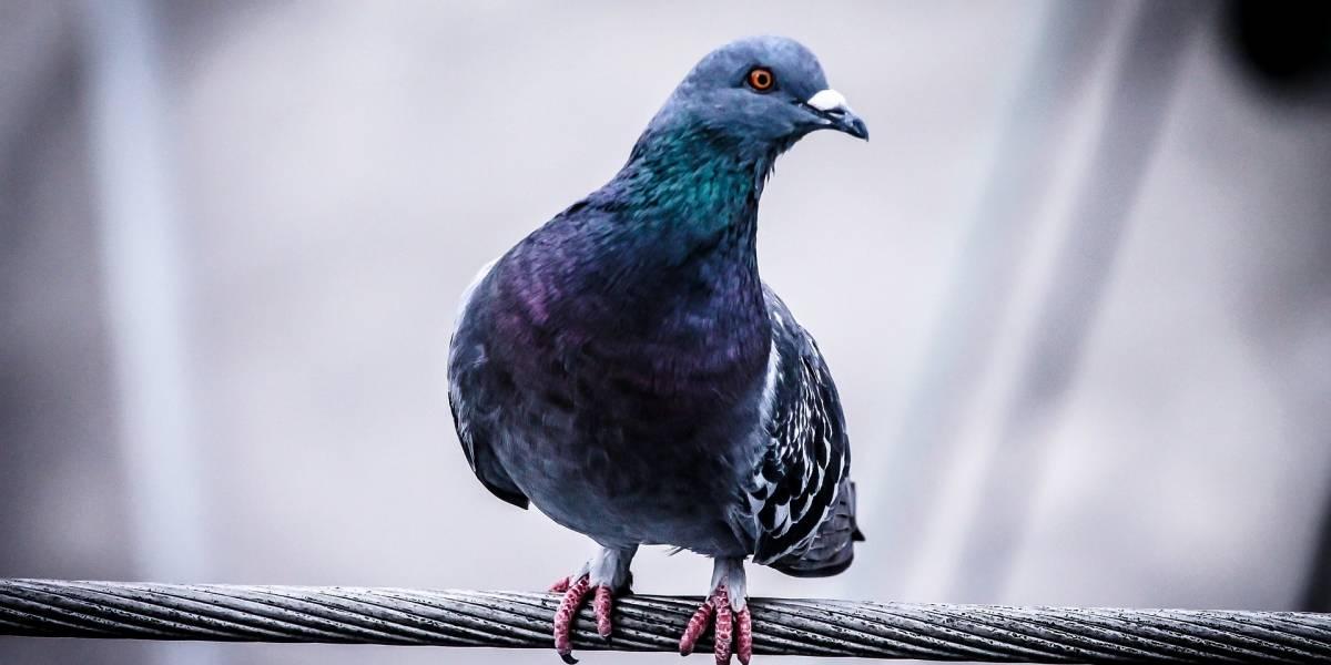 Cárcel a dos en China por hacer trampa en carrera de palomas