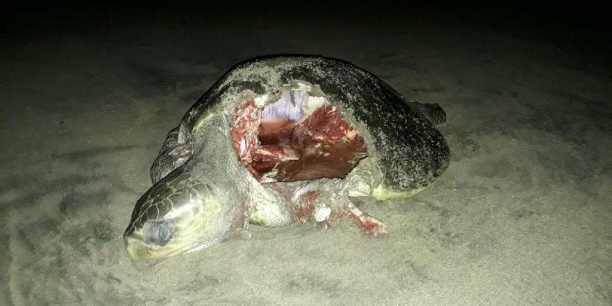 Encuentran 10 tortugas muertas en playas de Guerrero