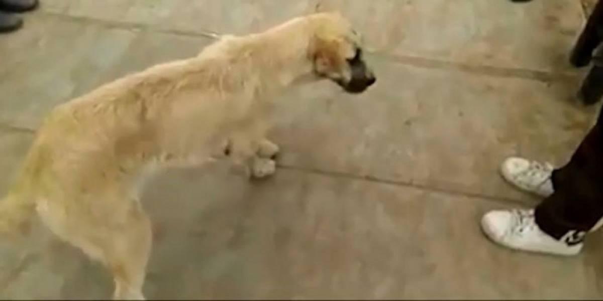 Niño lleva todos los días a su mascota al colegio por una triste razón: su padre maltrata al perrito y lo tiene lleno de heridas