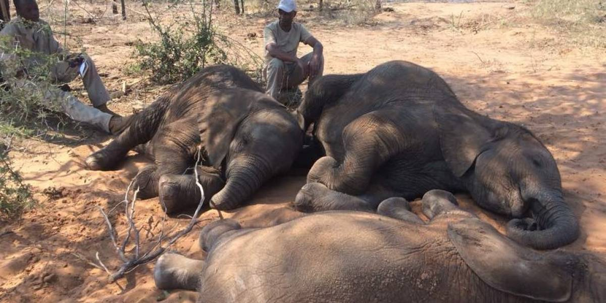 Al menos 87 elefantes y 3 rinocerontes blancos fueron asesinados en Botsuana