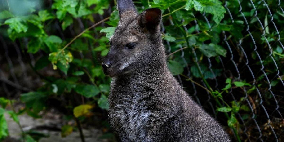 O enigma do canguru flagrado na natureza na Áustria, bem longe da nativa Austrália