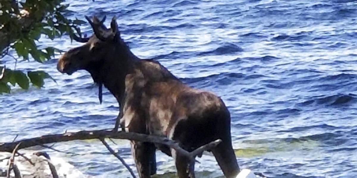 La estupidez humana no tiene límites: asustado alce muere ahogado en lago tras ser acosado por varias personas para tomarle fotos
