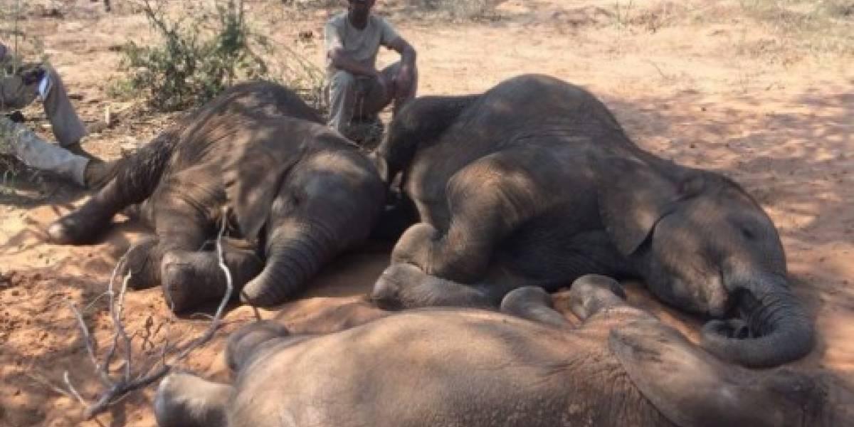 Querían el marfil: 90 elefantes asesinados por cazadores en Botsuana