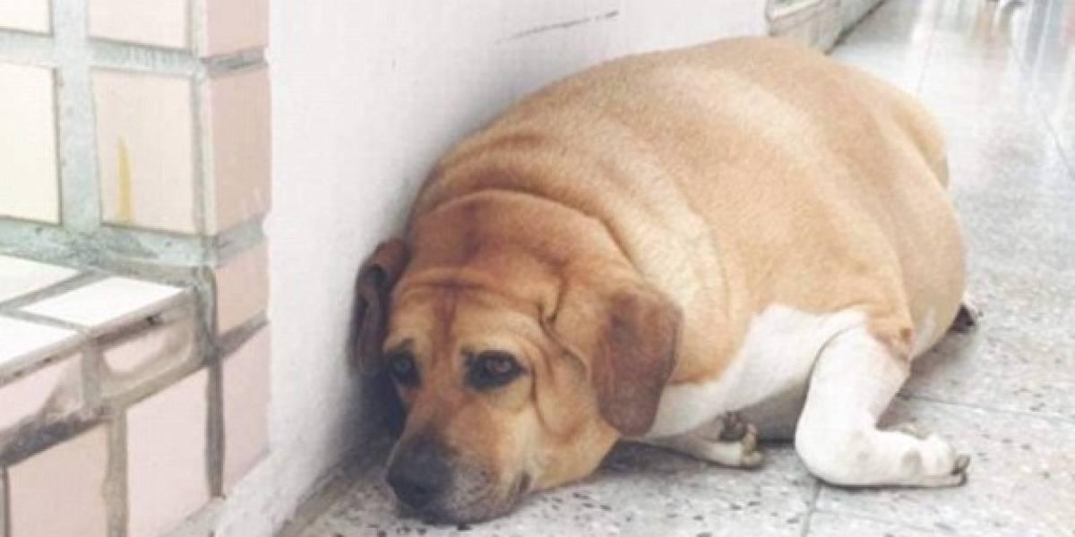 El perro se comía hasta las tareas: colegio prohíbe a estudiantes alimentar a la mascota del colegio tras quedar obeso mórbido