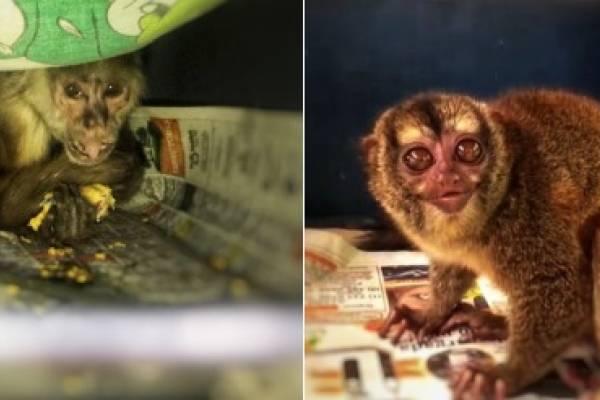 Rescatan mono que llevaba 26 años en cautiverio en Bogotá