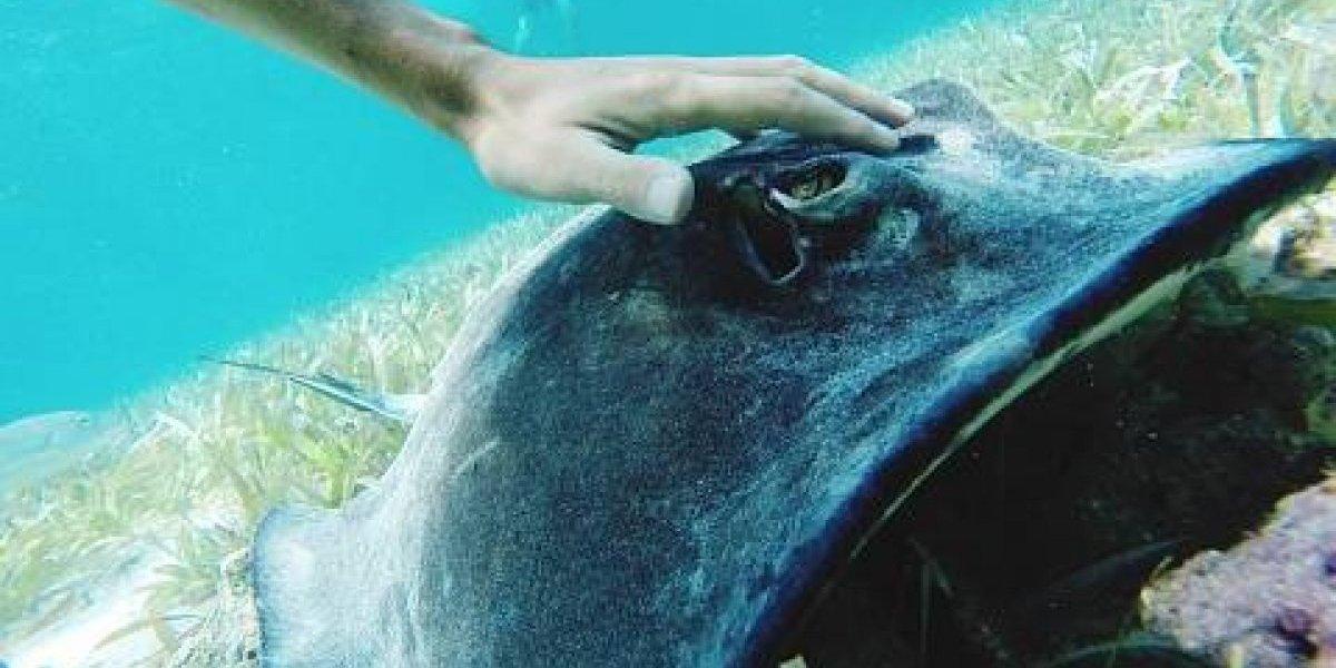El doloroso encuentro de bañista con una mantarraya: animal marino lo picó y quedó atascado a sus genitales