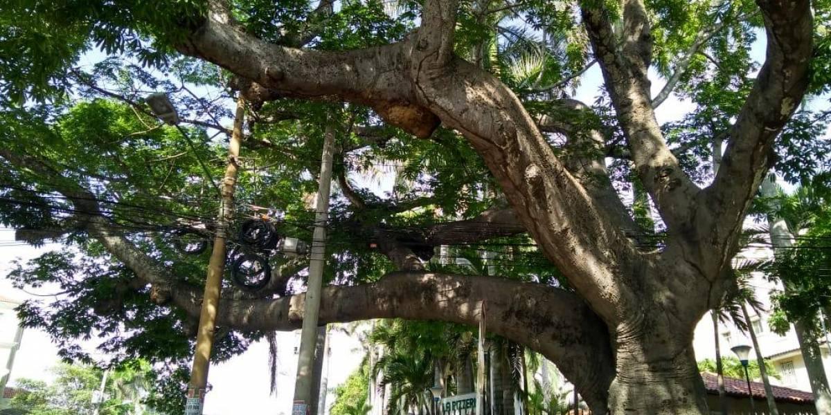Los árboles: El otro patrimonio vegetal que se protege en Barranquilla