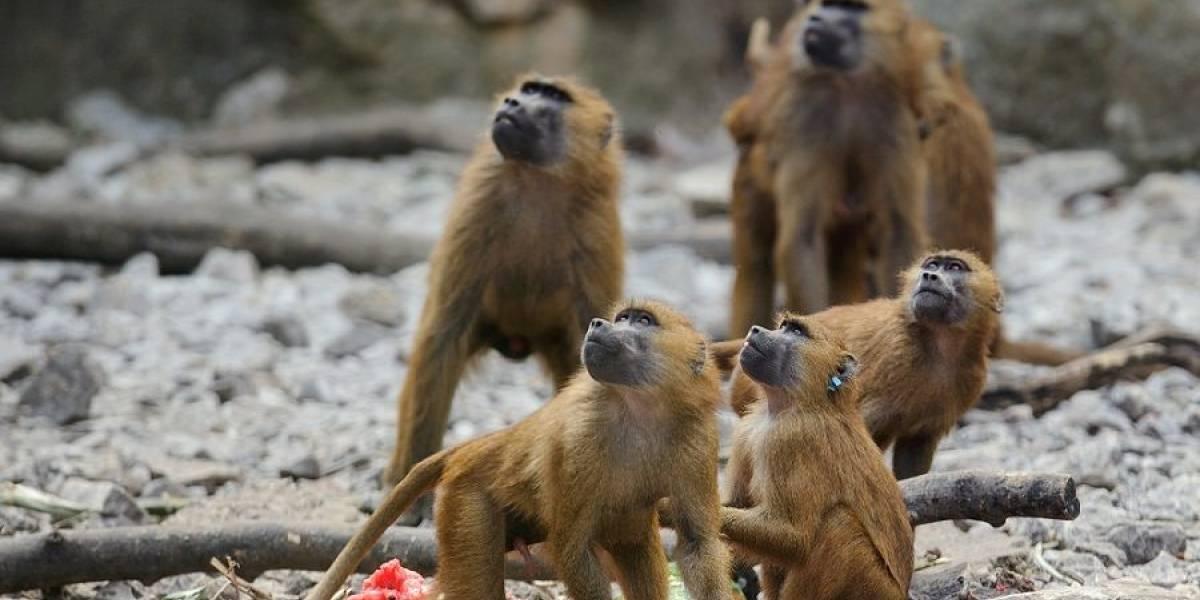 Irrumpe en zoológico para robar un mono para su novia y es golpeado por los simios: perdió dos dientes y terminó en la cárcel
