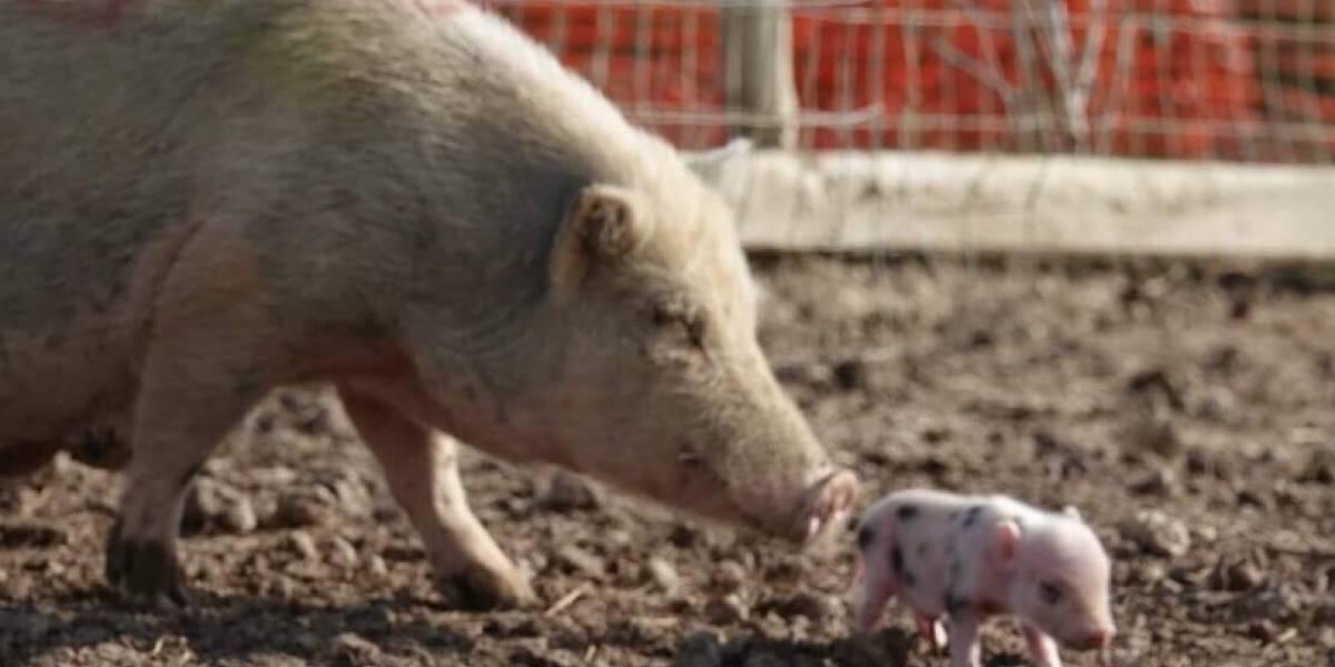 Les quedan horas de vida: la desesperada búsqueda de hogar para 458 adorables cerdos que serán sacrificados