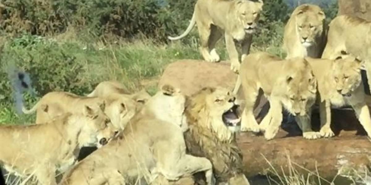 Nove leoas são gravadas atacando brutalmente leão macho em safári