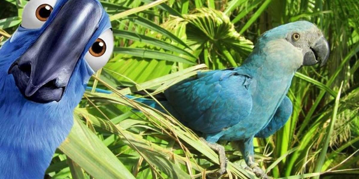 """VIDEO. Adiós al Guacamayo Azul que inspiró a la película """"Río"""""""