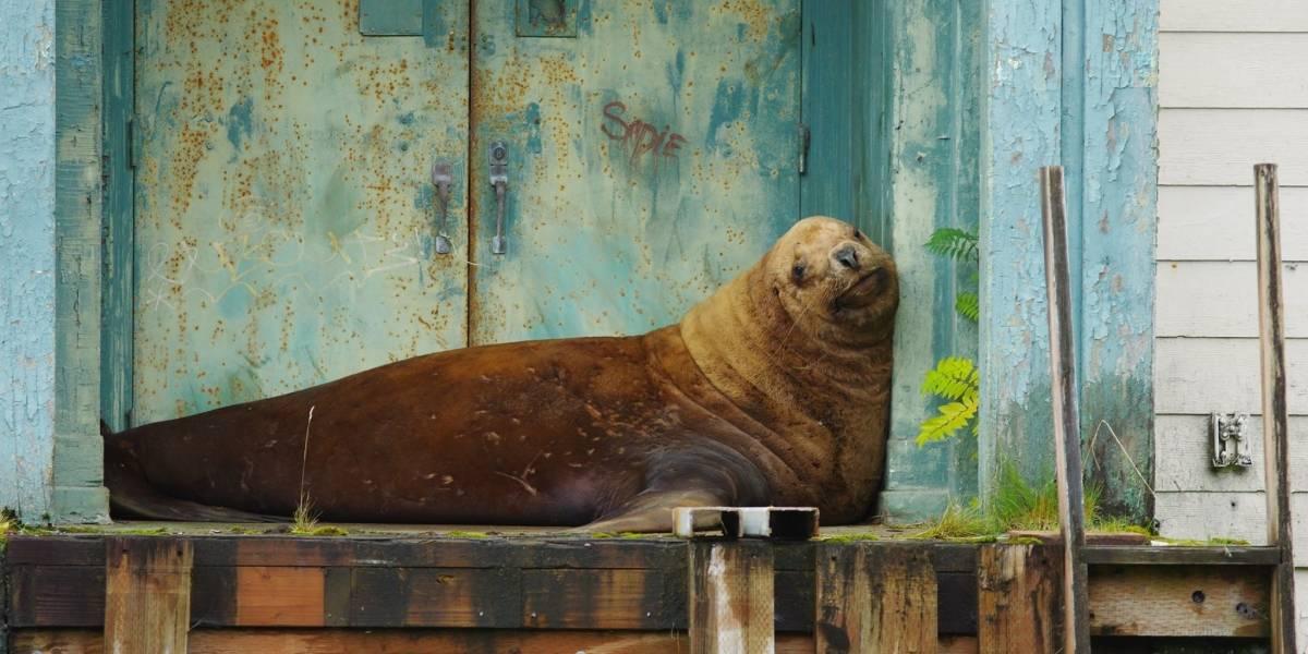 ¿Cómo llegó hasta ahí?: Tras cuatro días de aventuras fuera del mar este tierno león marino perdido consiguió volver al mar en Alaska