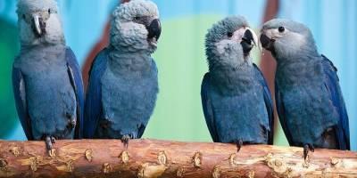 Perico azul