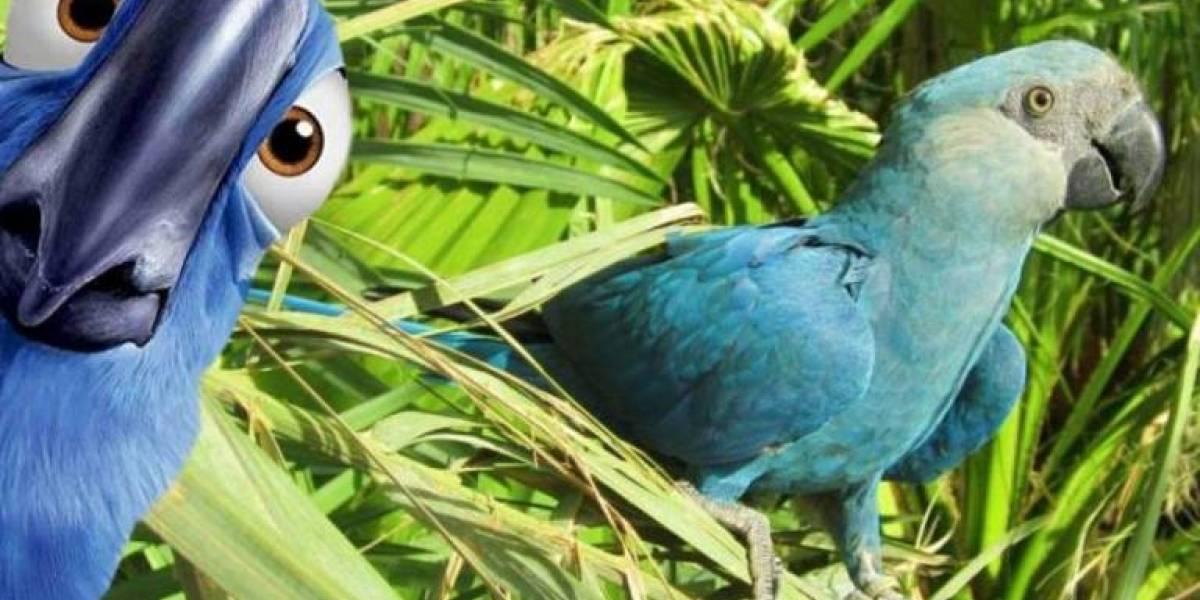 Declaran extinto al guacamayo azul que inspiró la película Río: la deforestación se los llevó