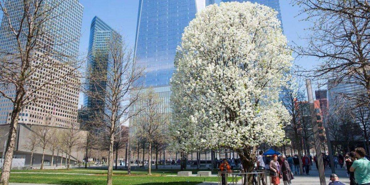 Rosselló acepta retoño de árbol sobreviviente del 11 de septiembre