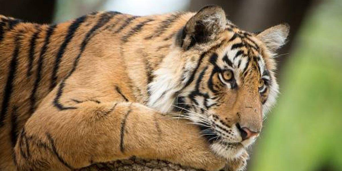 """""""No queremos hacerlo, pero debemos"""": polémica sentencia a muerte contra Tigre que ha devorado 13 personas en India"""