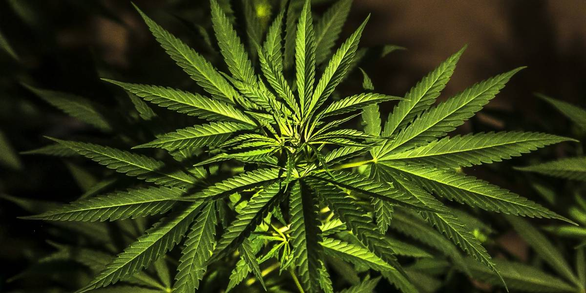 Estos 10 productos con marihuana buscan comercializarse