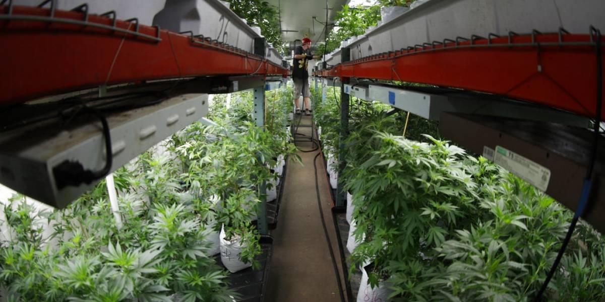 Se duplica cultivo de marihuana ilegal en Colorado