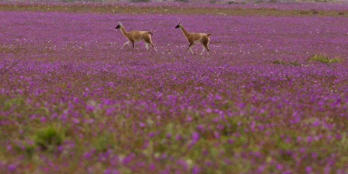 Todo por culpa de la sequía: aseguran que no habrá desierto florido en la Región de Atacama