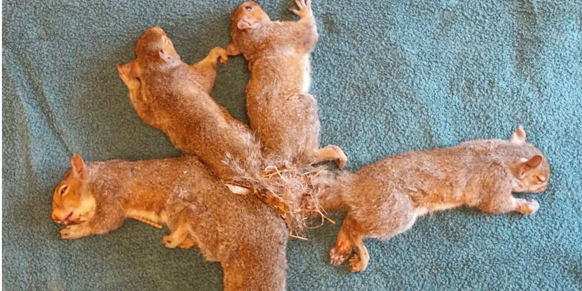 """Veterinários salvam cinco filhotes de esquilo presos um ao outro em """"nó de plástico"""""""