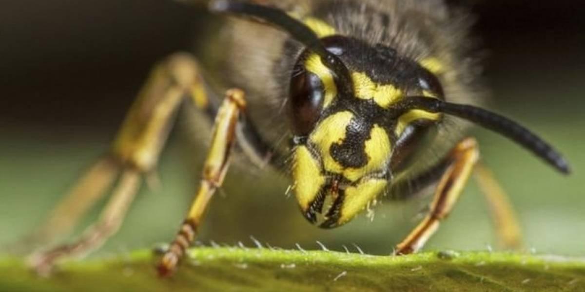 ¿Por qué odiamos a las avispas y amamos a las abejas?