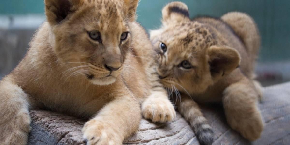 Zoológico de SP abre enquete para escolha de nomes de novas leoas