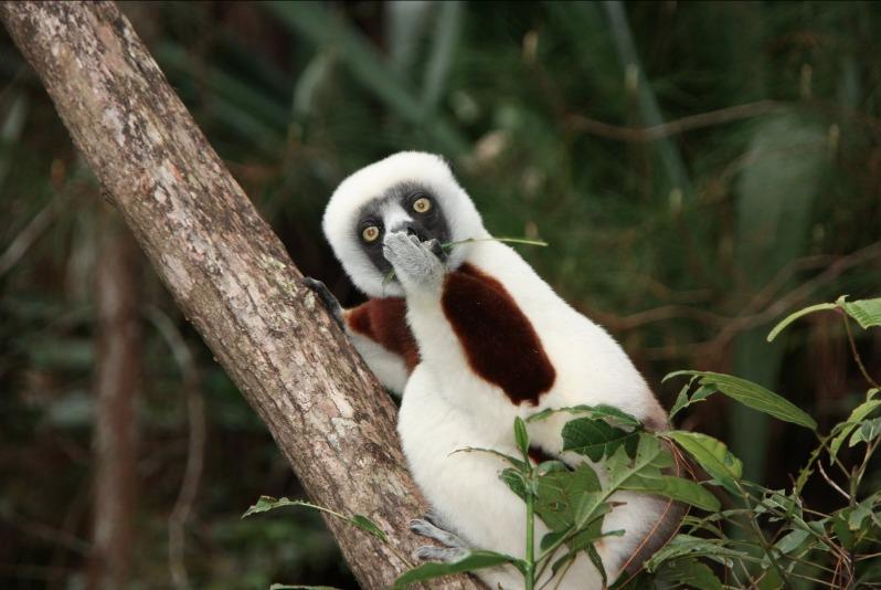 """El lemur asombrado"" - Jakob Strecker"