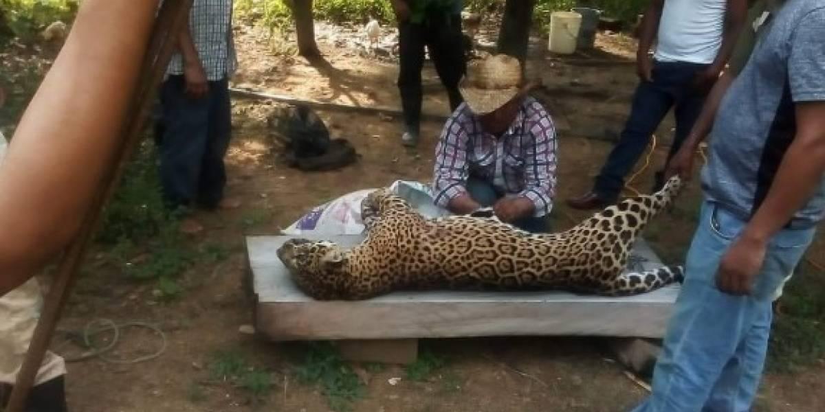 Asesinan a jaguar en Veracruz y lo presumen en redes sociales